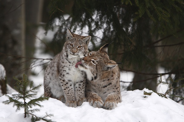 Two lynxes in their natural habitat