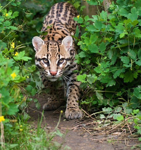 Ocelot Facts and InformationOcelots Eating