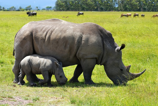 Rhinoceros birth