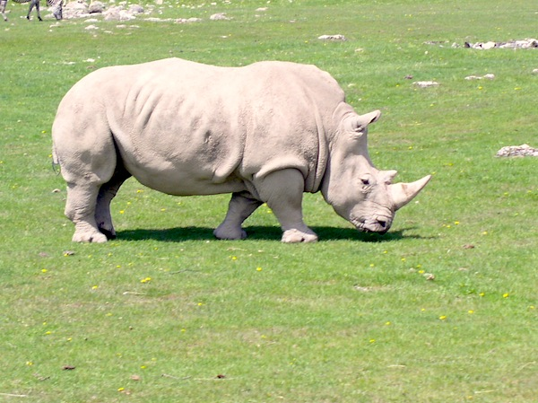 Facts about Rhinoceros Feeding