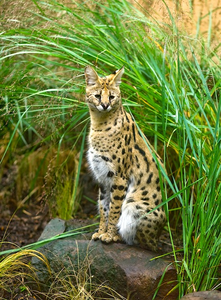Serval Facts and Information