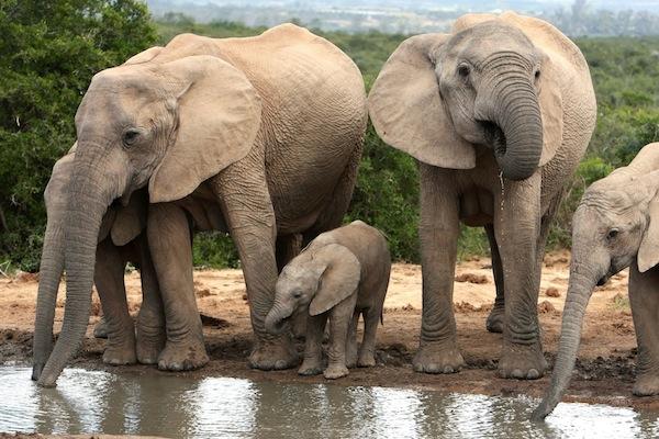 Elephant Communication