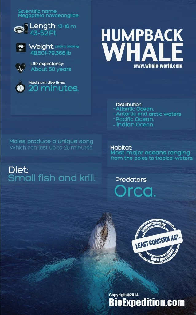 Humpback_whale-infographic