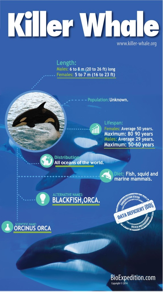 Killer_Whale-infographic