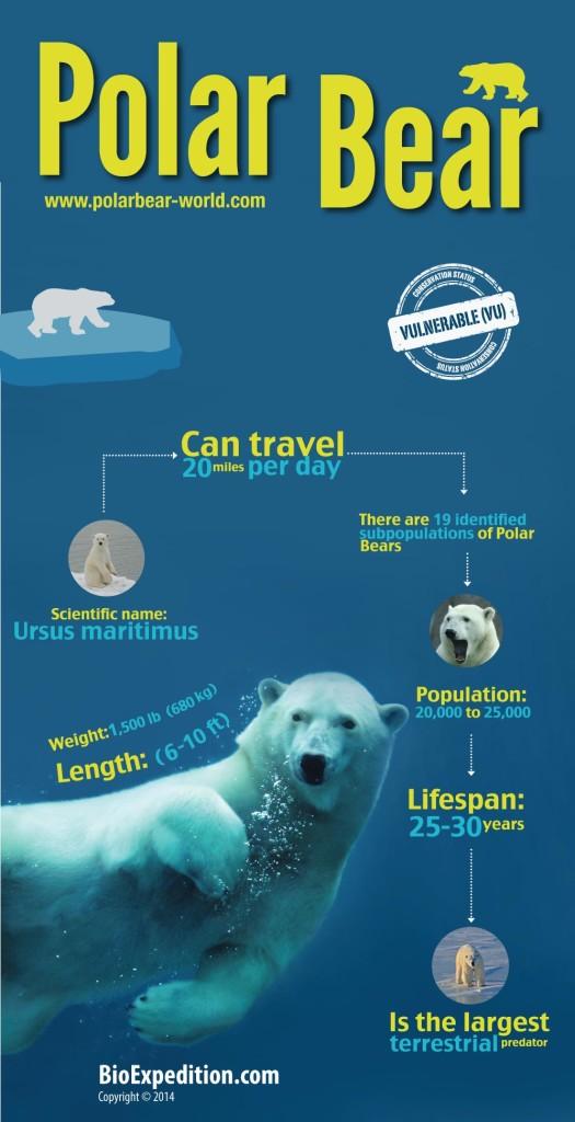 Polar_Bear-infographic