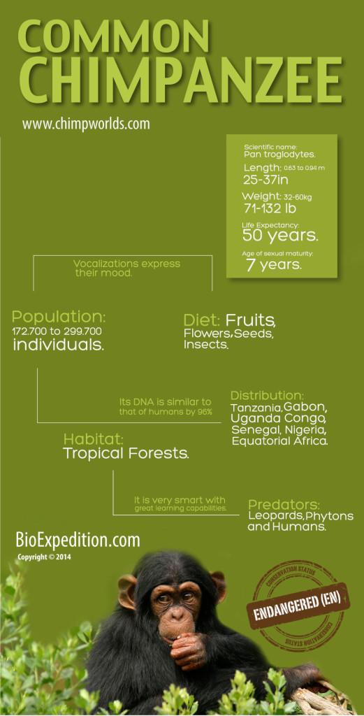 common-chimpanzee-infographic