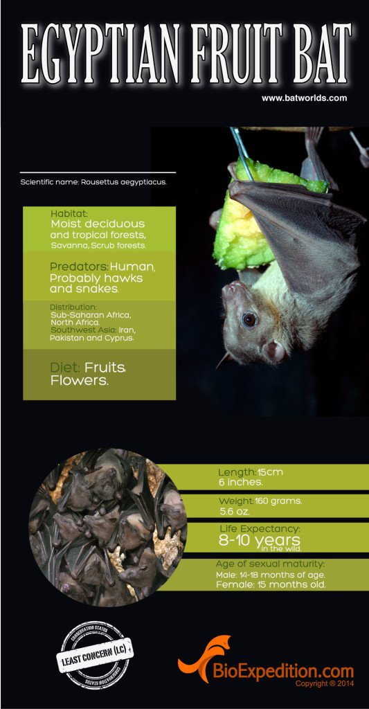 Egyptian_Fruit_bat_infographic