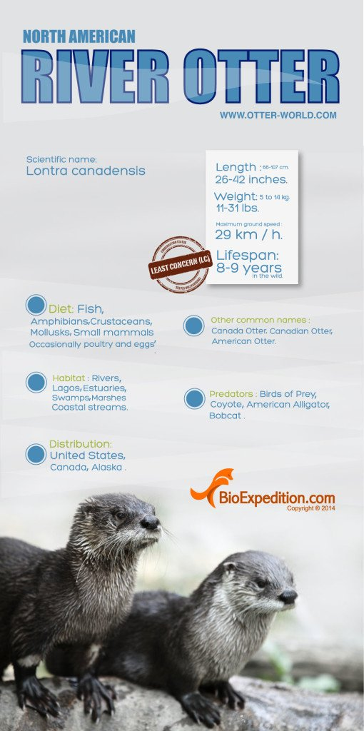 North_american_river_otter_image