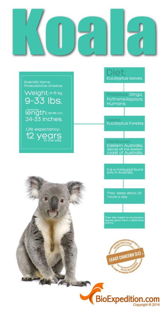 koala_infographic
