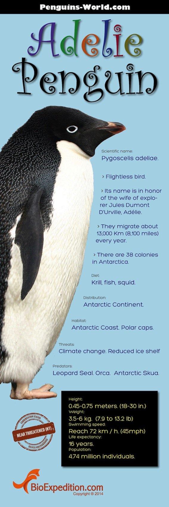 Adelie_Penguin-infographic