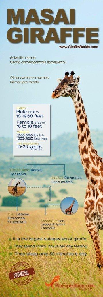 masai-giraffe copia