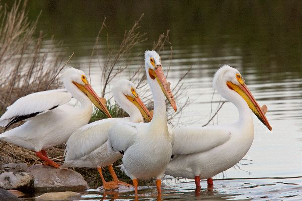 American White Pelican Information