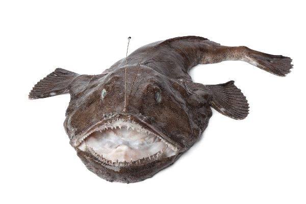 Anglerfish Facts and Information