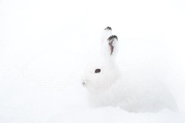 Arctic Hare Information