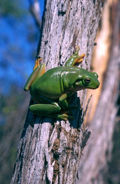 Australian Green Frog Facts