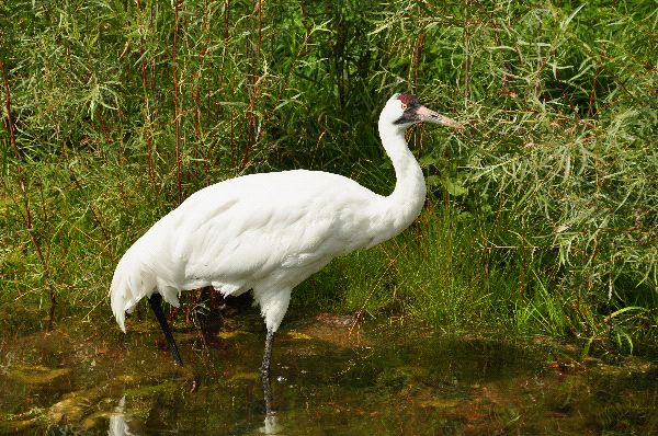 Whooping Crane Information