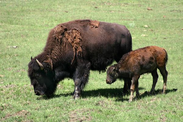 Bison - Family Bovidae