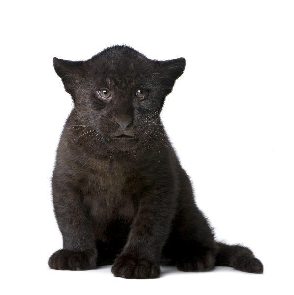 Black Jaguar - Panthera onca
