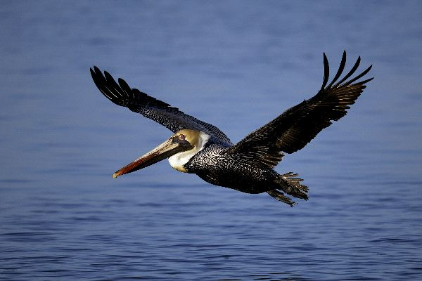 Brown Pelican Information