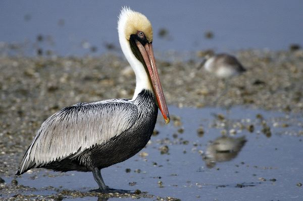 Brown Pelican Facts