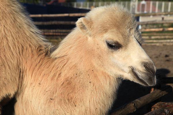 Camel - Genus: Camelus