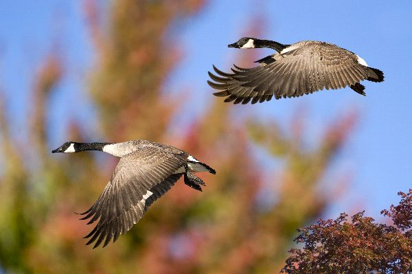 Canadian Goose Facts