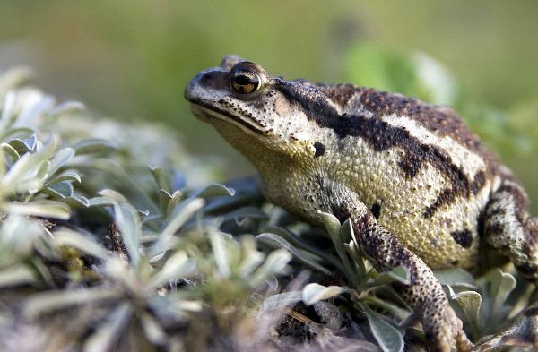 Cane Toad Information