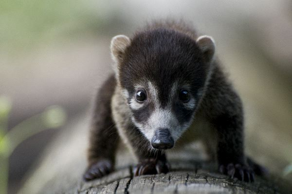 White-Nosed Coati - Nasua narica