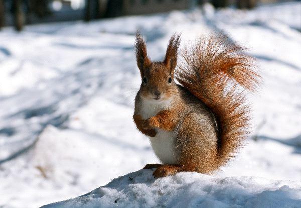 Red Squirrel Information