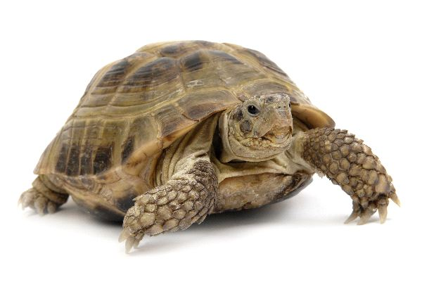 Desert Tortoise Facts