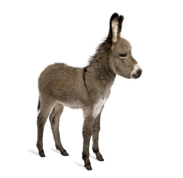 Donkey - Equus africanus asinus