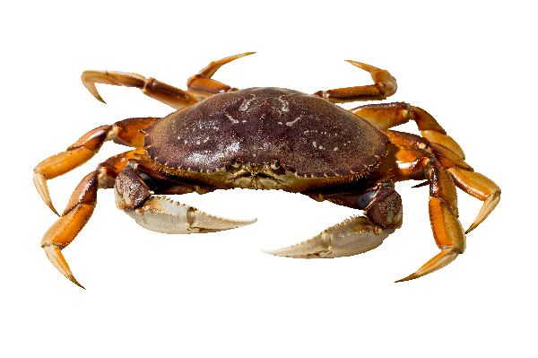 Dungeness Crab Facts and Information