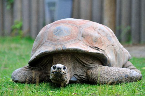 Galapagos Tortoise Information