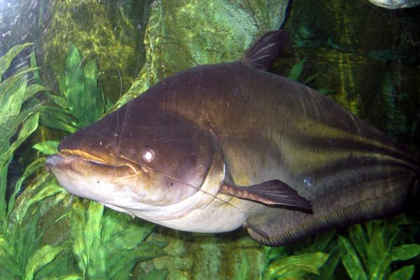Giant Mekong Catfish Facts and Information