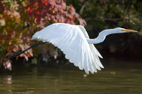 Great Egret Facts