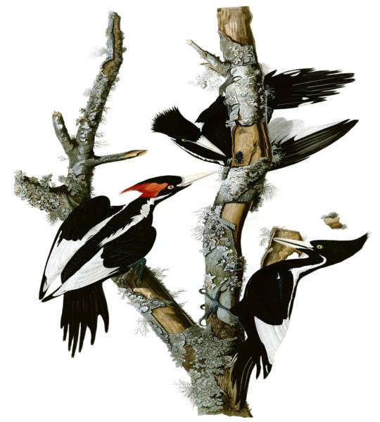 Ivory Billed Woodpecker Information
