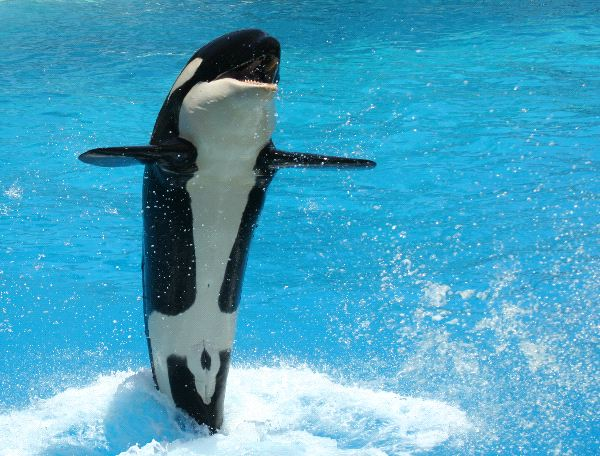 Killer Whale Calf - Animal Facts and Information
