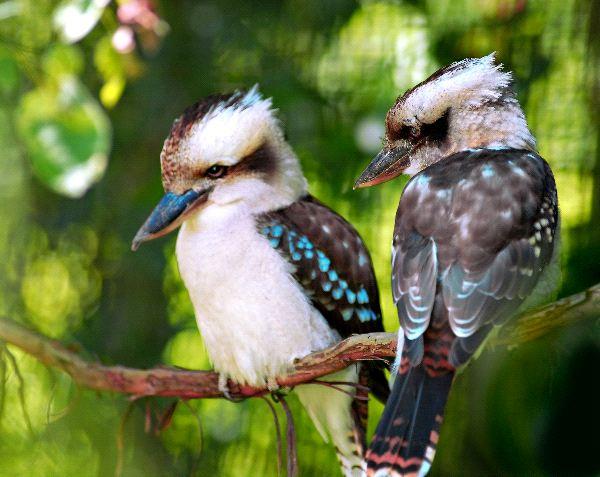 Laughing Kookaburra Information