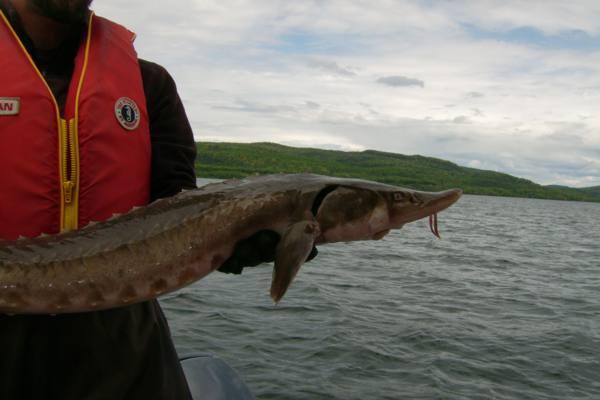 Lake sturgeon Facts