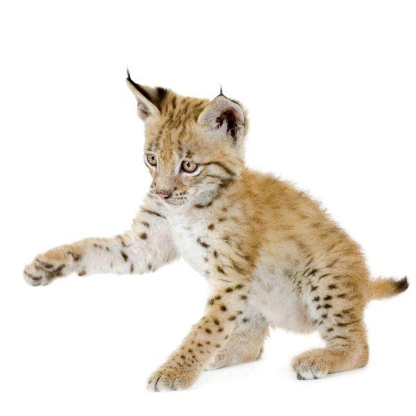 Eurasian Lynx - Lynx lynx