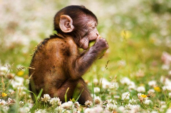 Macaque - Genus: Macaca