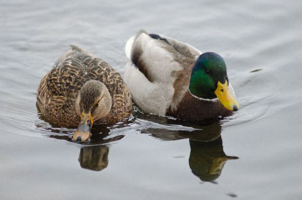 Mallard Duck Information
