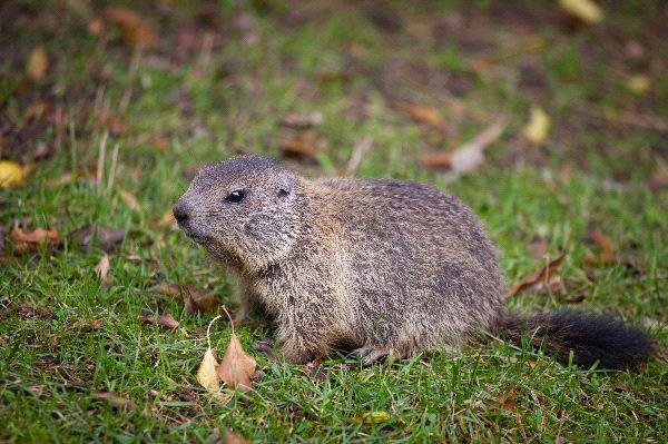 Marmot - Marmota marmota