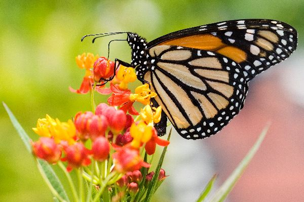 Monarch Butterfly Facts