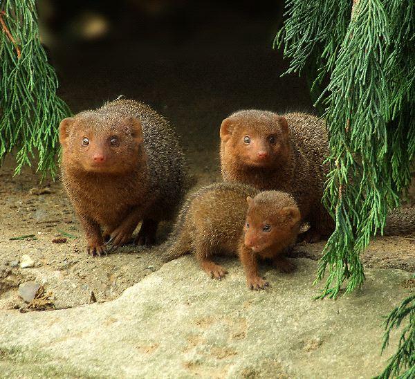 Mongoose Information