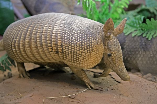 Nine-Banded Armadillo Facts