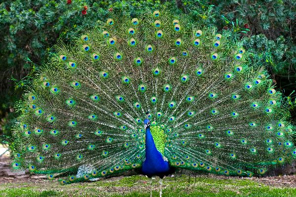 Peacock Information