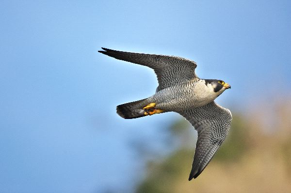 Peregrine Falcon Information