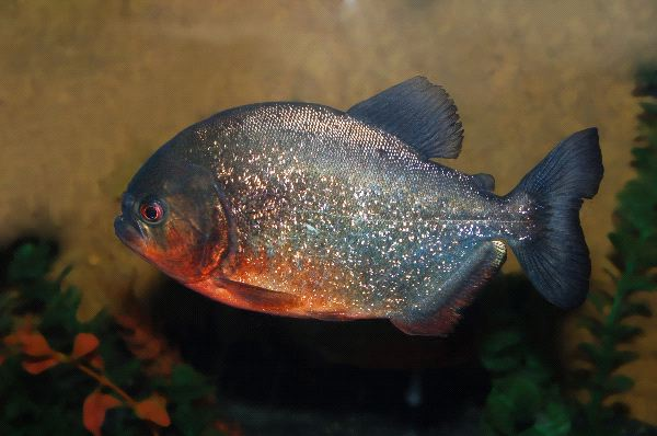 Piranha Information