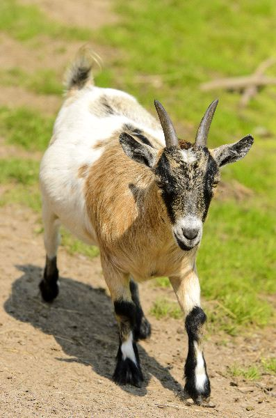 Pygmy Goat Facts